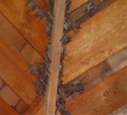 bat-infestation-attic