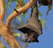 bat-tree