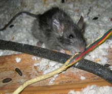 rat-droppings-chewed-wires